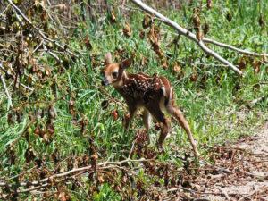 Wildlife-sighting-newborn-fawn
