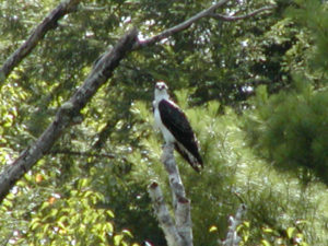 Osprey-Silver-Cliff-Wisconsin