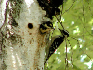 nesting-woodpeckers-springtime-Silver-Cliff
